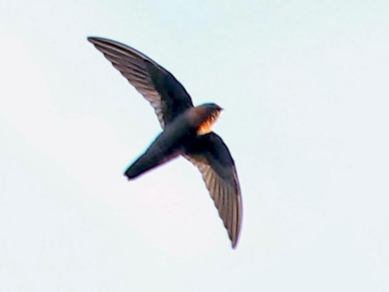 Chestnut-collared Swift - sicloot