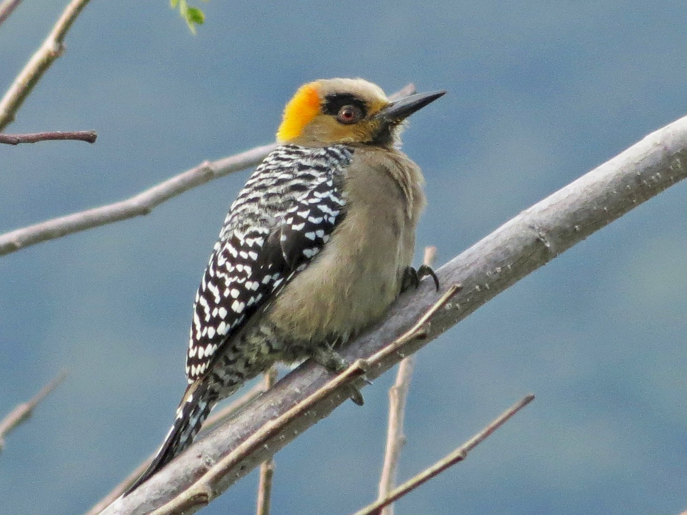 Golden-cheeked Woodpecker - Sandra Dennis
