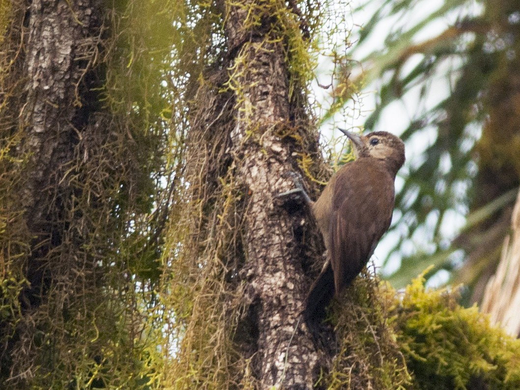Smoky-brown Woodpecker - Giselle Mangini