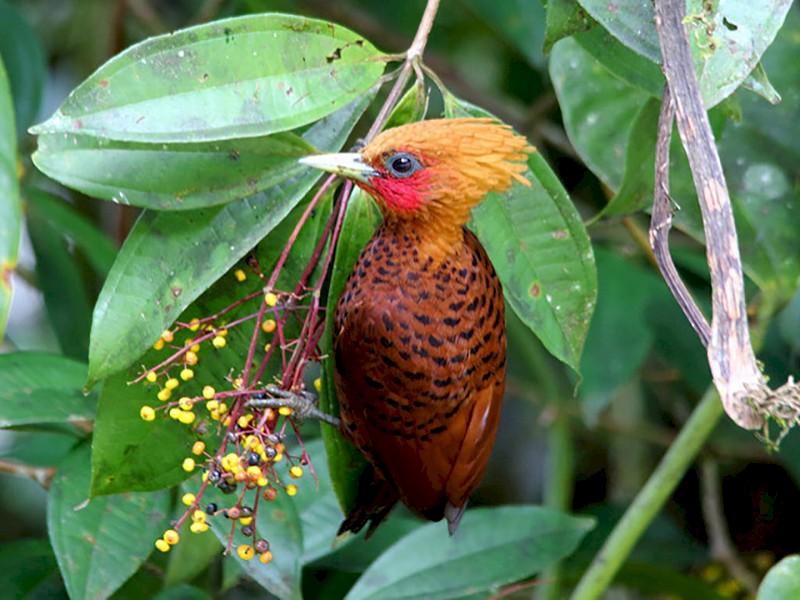 Chestnut-colored Woodpecker - Marcelo Corella