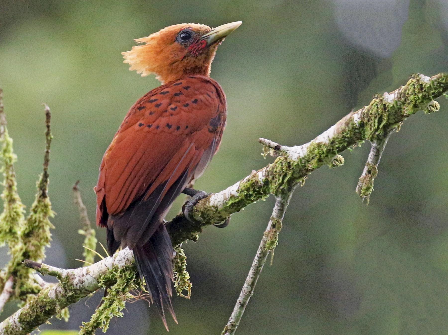 Chestnut-colored Woodpecker - Jeff Tingle