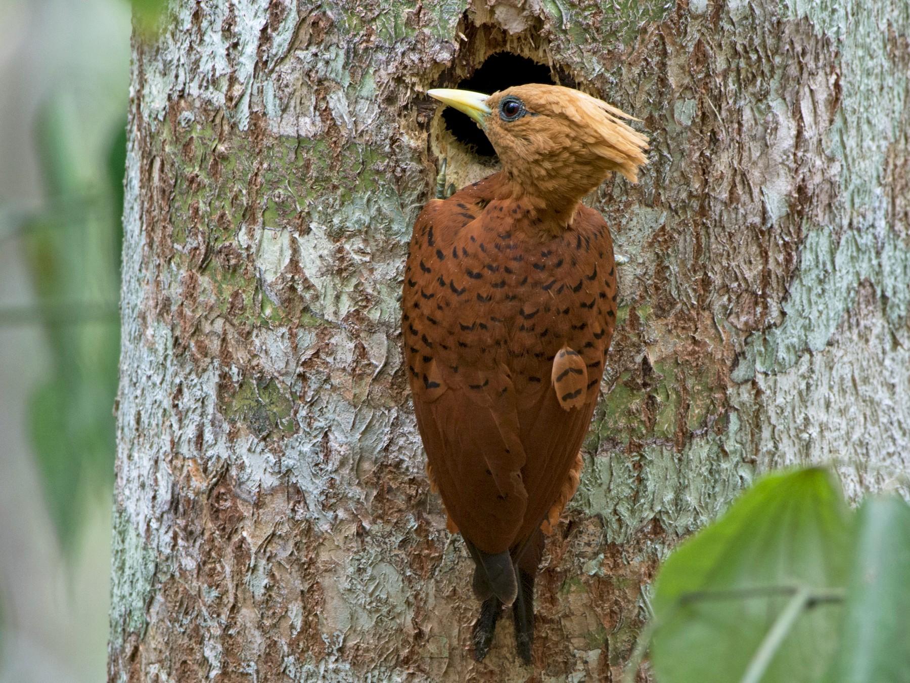 Chestnut-colored Woodpecker - Jonatan David Suruy Medrano