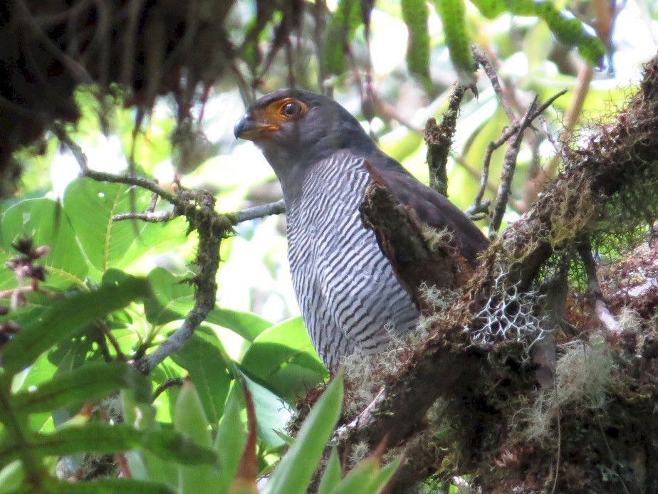 Barred Forest-Falcon - Wade Nolan