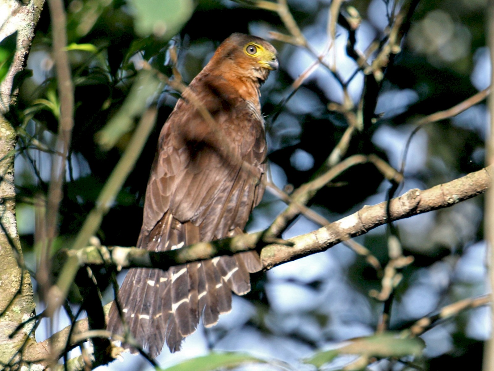 Barred Forest-Falcon - João Gava Just
