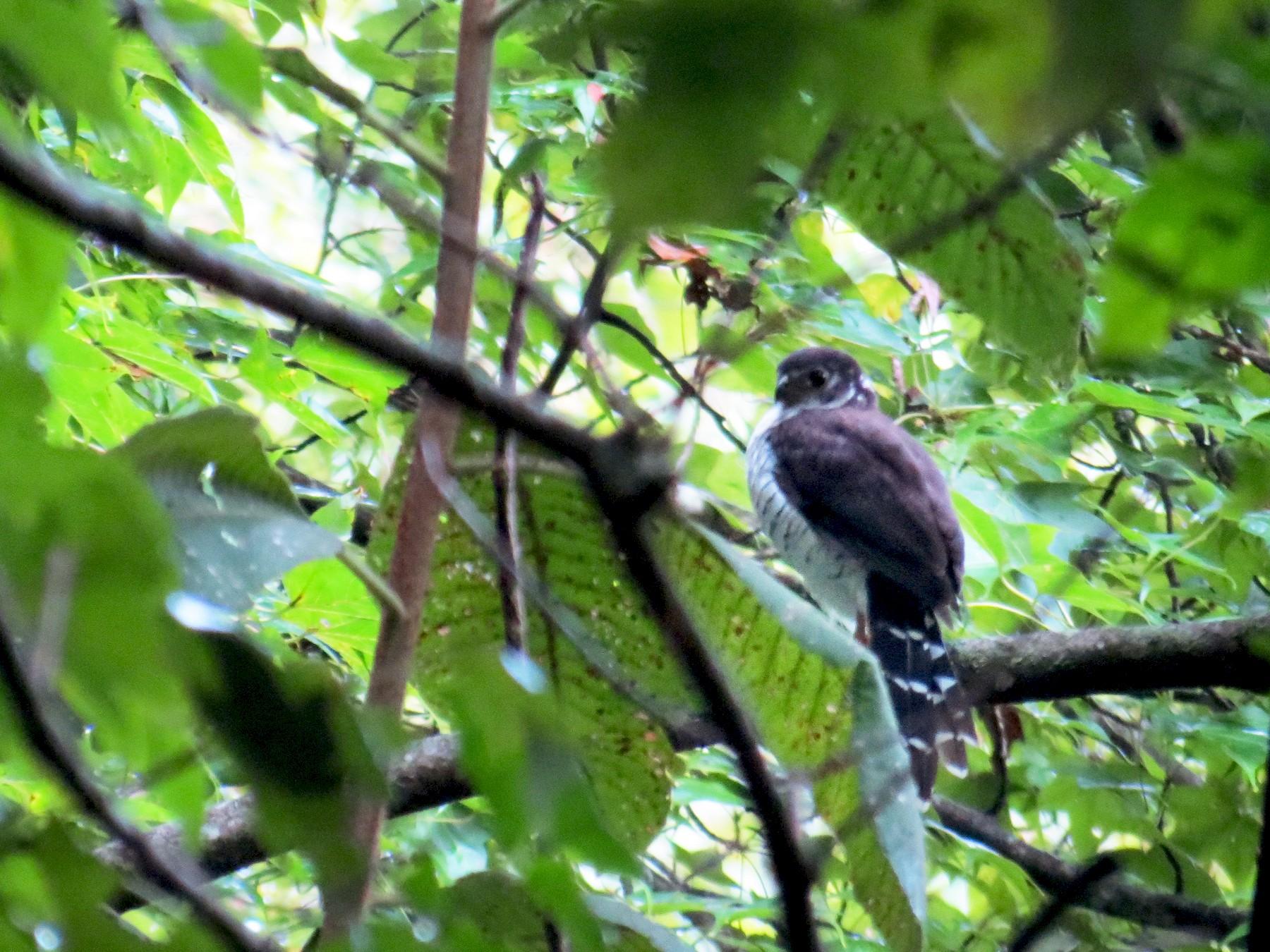 Barred Forest-Falcon - Carlos Caballero