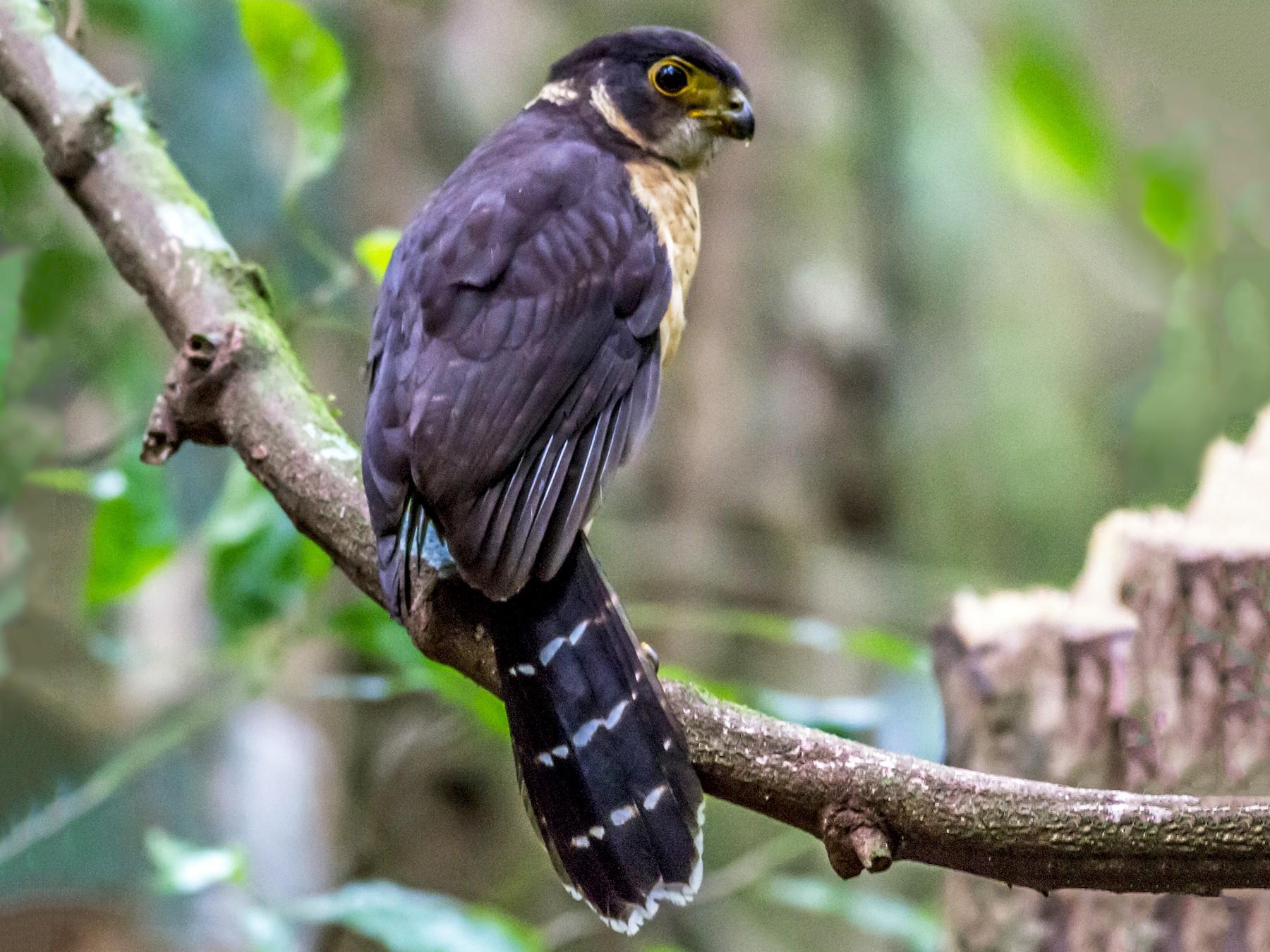 Barred Forest-Falcon - Nick Pulcinella
