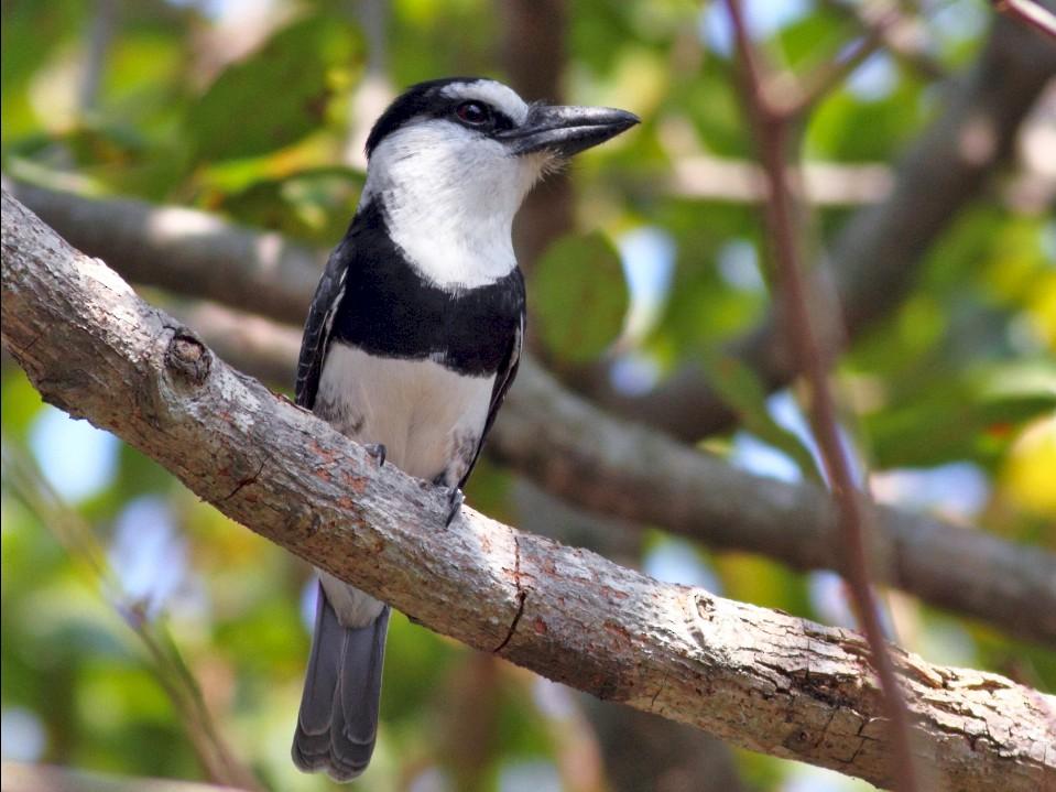White-necked Puffbird - Graham Montgomery