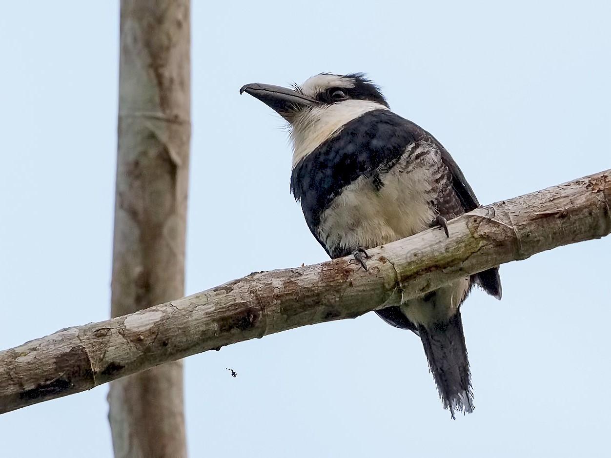 White-necked Puffbird - Renato Espinosa