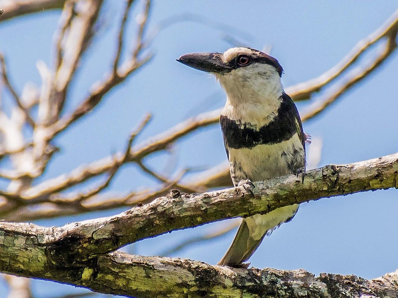 White-necked Puffbird - Tal Pipkin