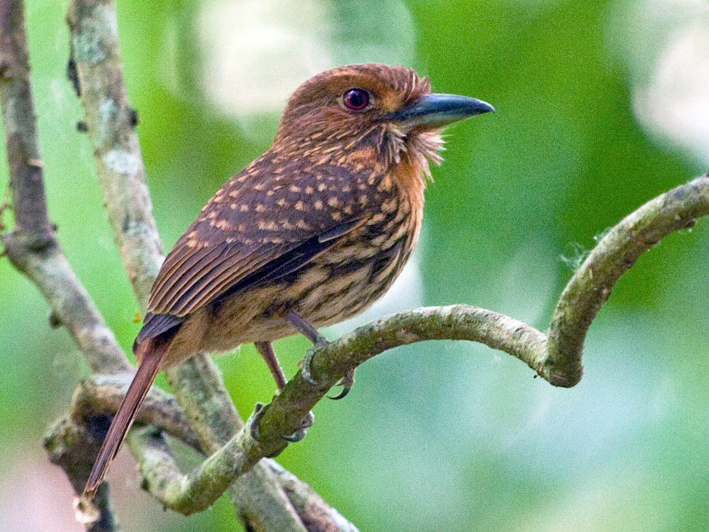 White-whiskered Puffbird - Brian Healy