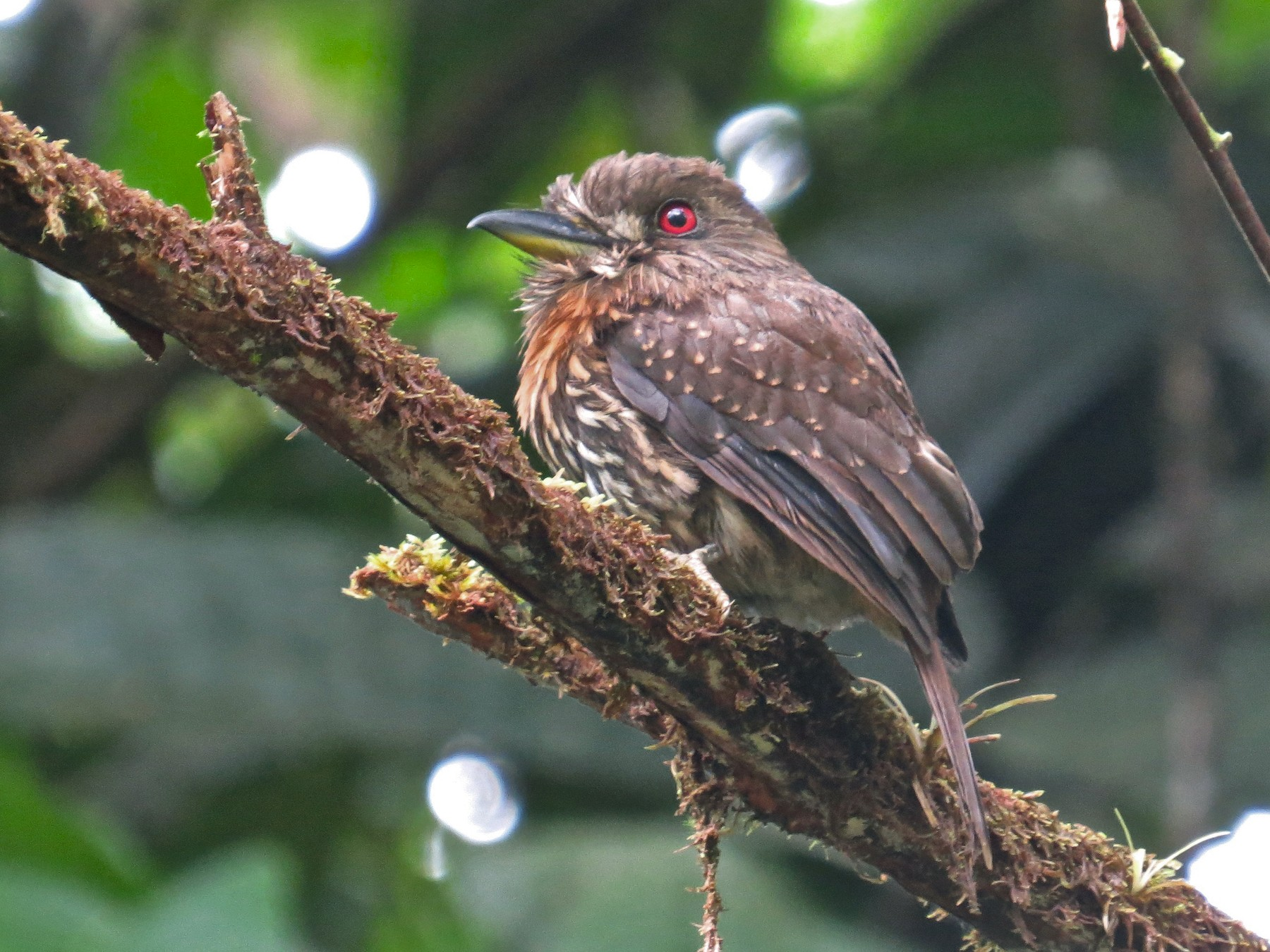 White-whiskered Puffbird - Mark Kosiewski