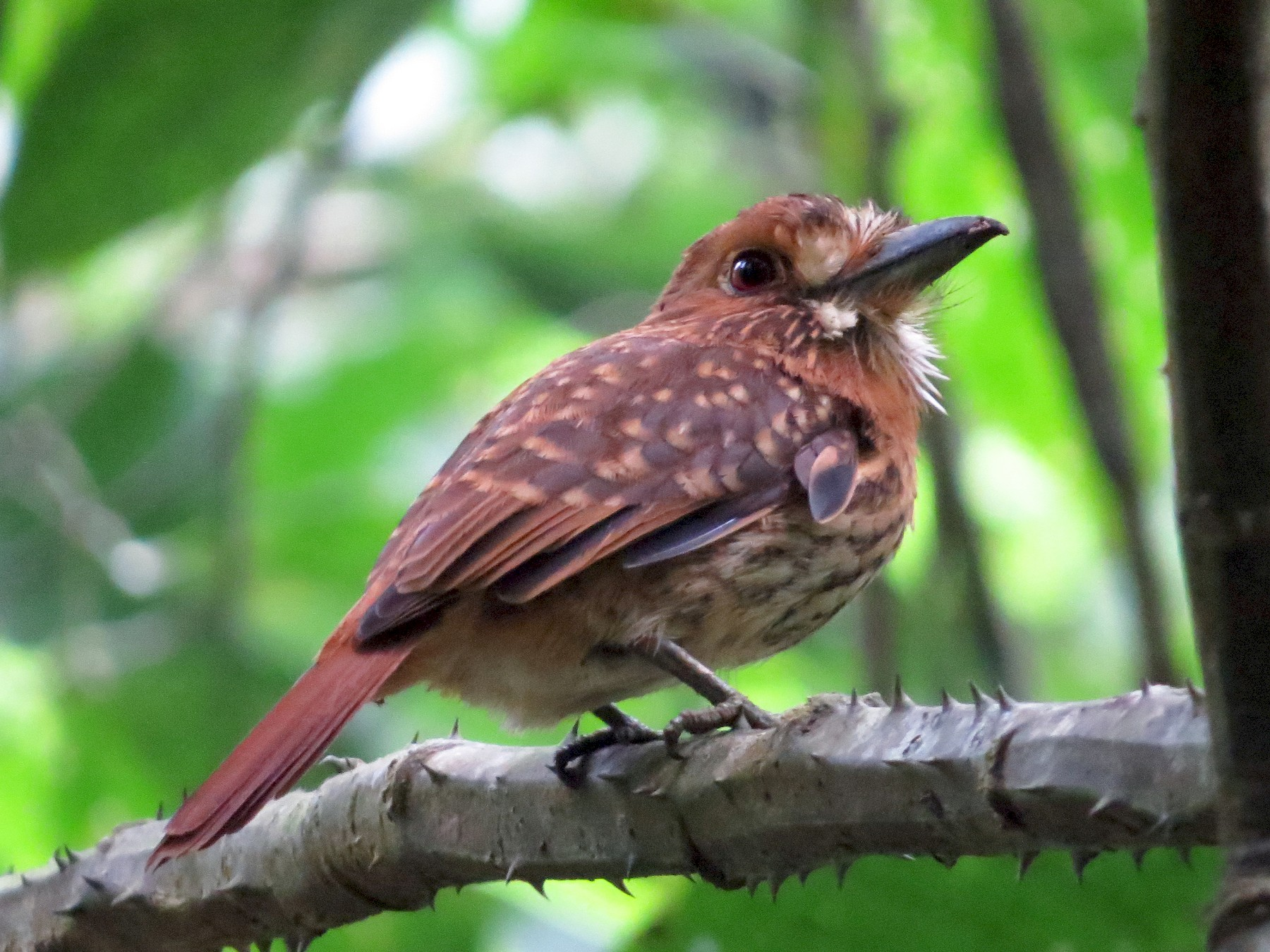 White-whiskered Puffbird - kenneth reyes