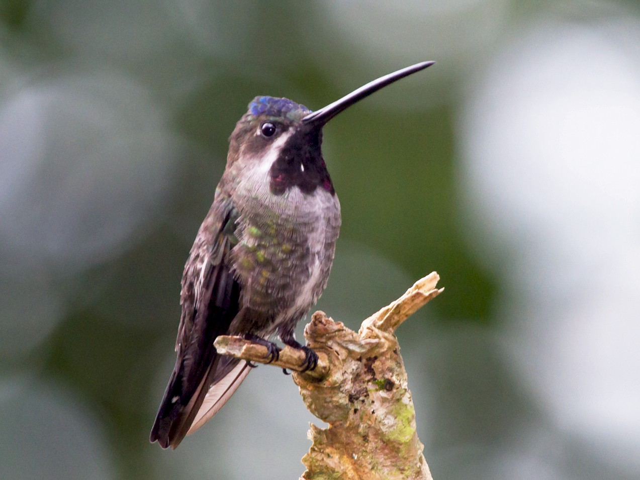 Long-billed Starthroat - Robert Lewis