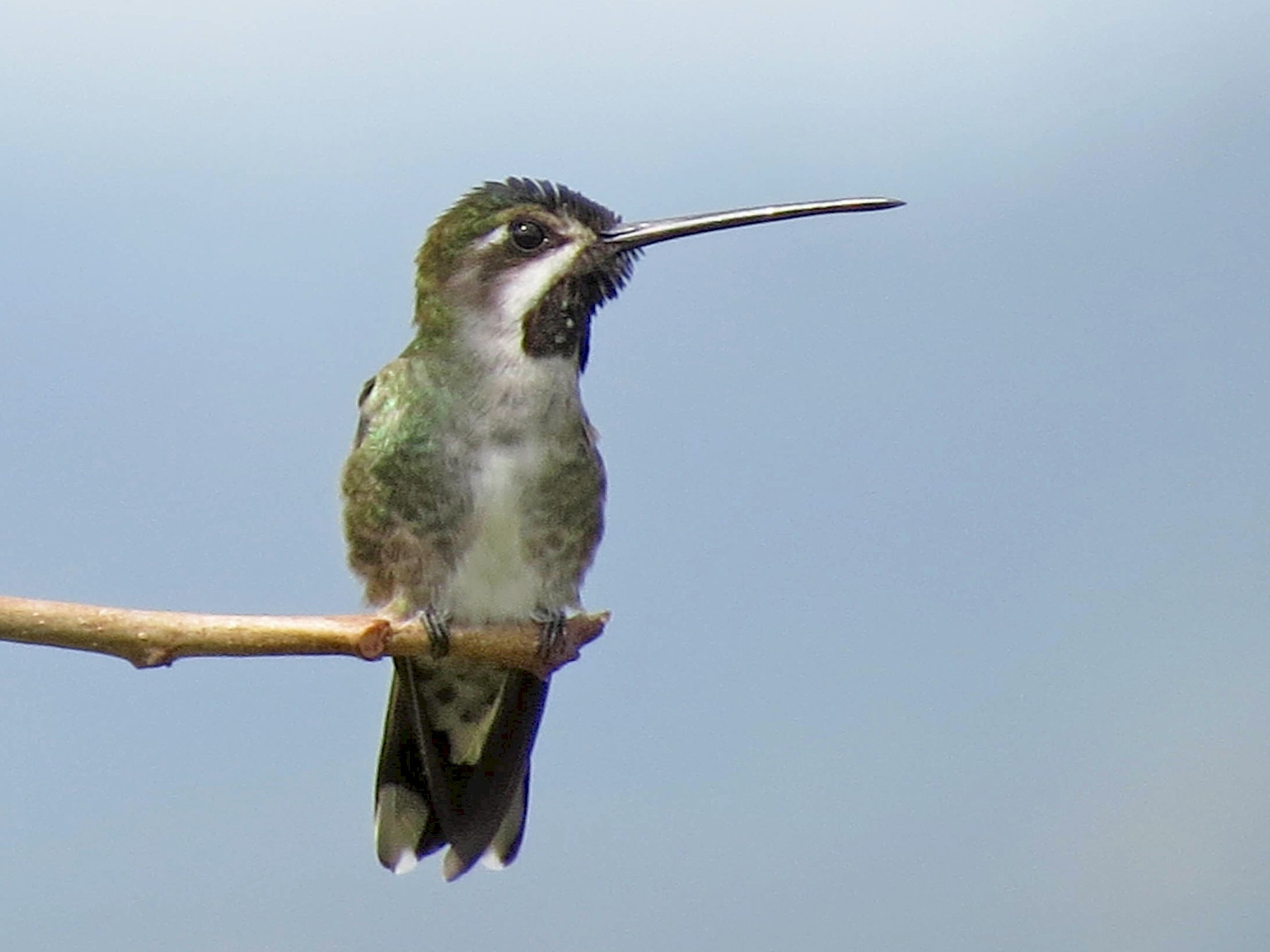 Long-billed Starthroat - Anonymous eBirder