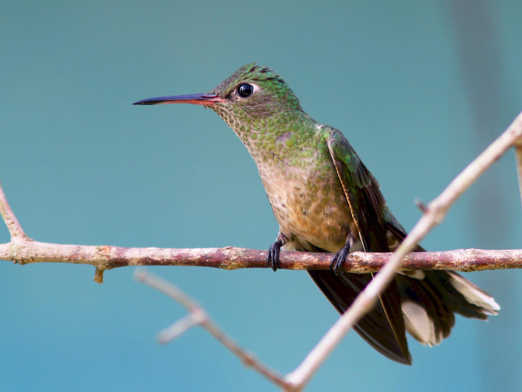 Scaly-breasted Hummingbird - Bradley Hacker