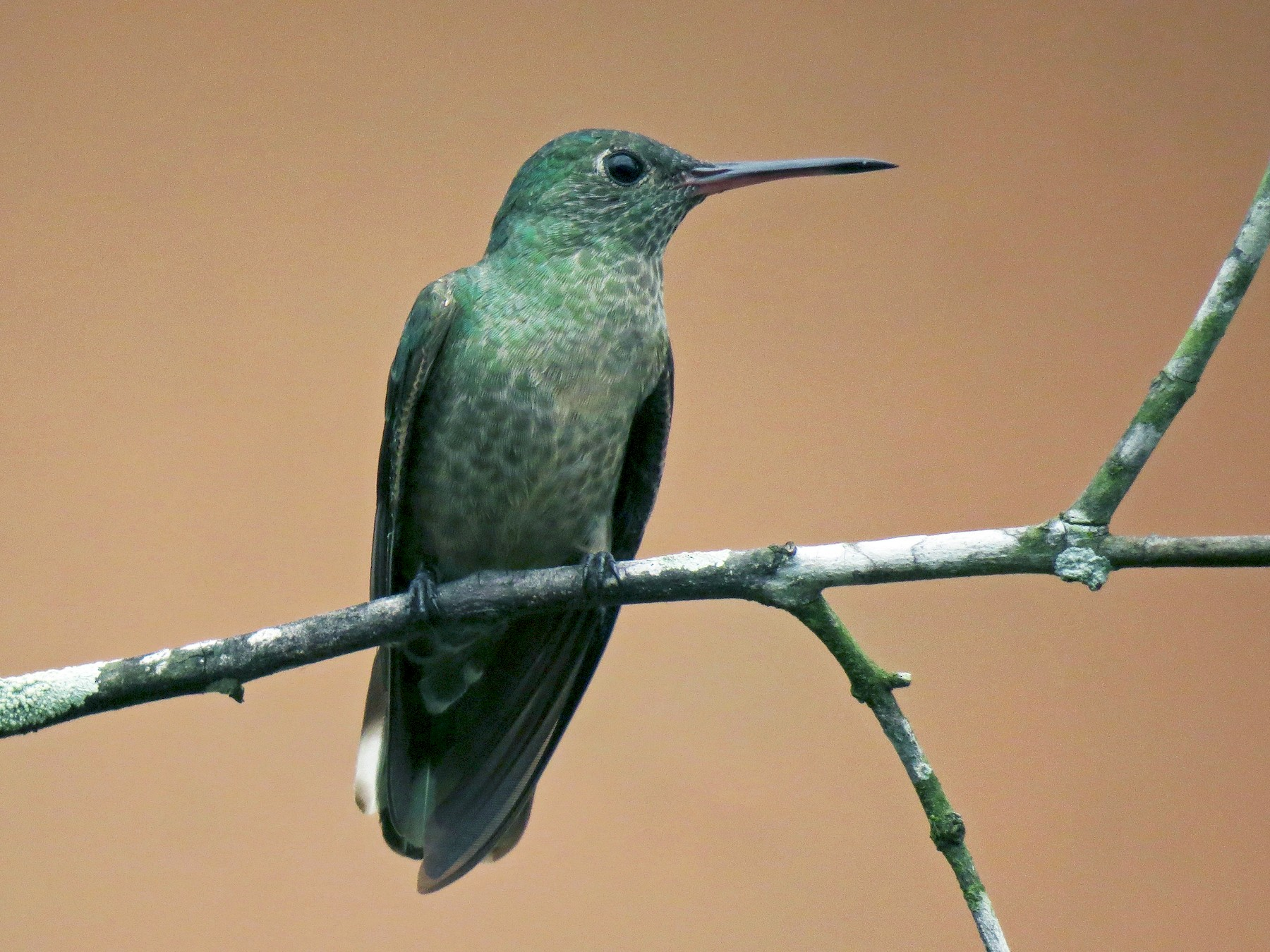 Scaly-breasted Hummingbird - Gerry Hawkins