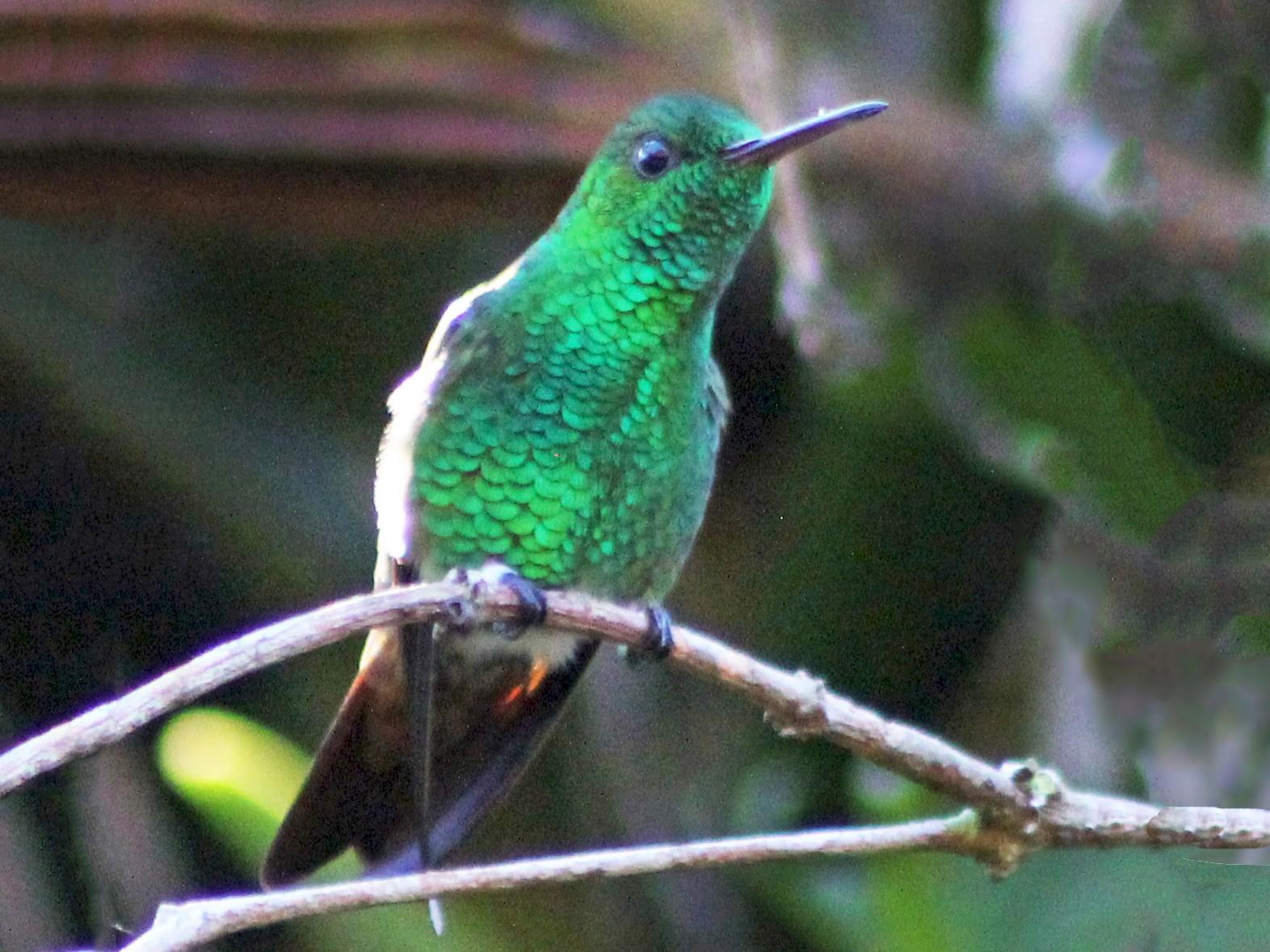 Berylline Hummingbird - Mario Trejo