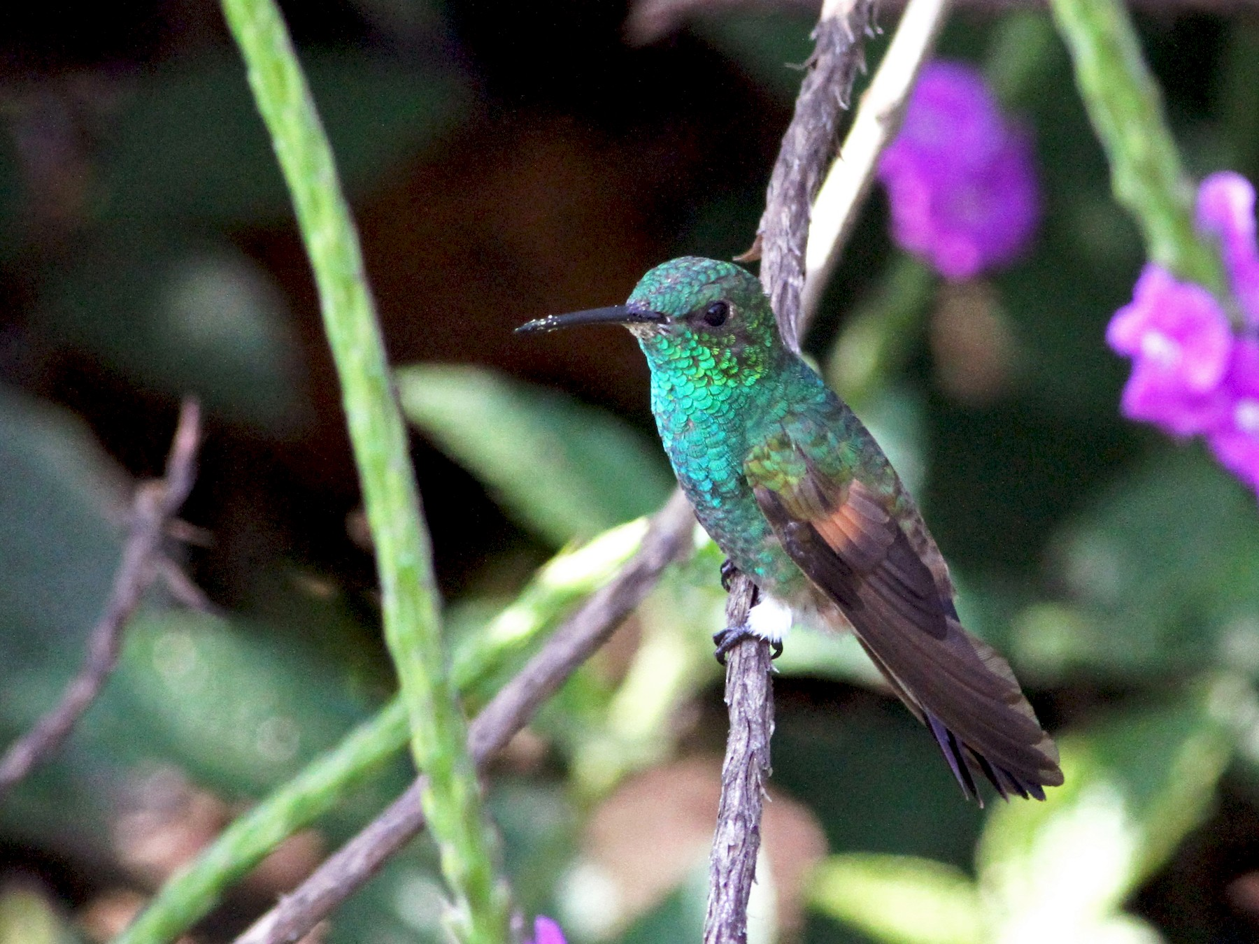 Blue-tailed Hummingbird - Georges Duriaux