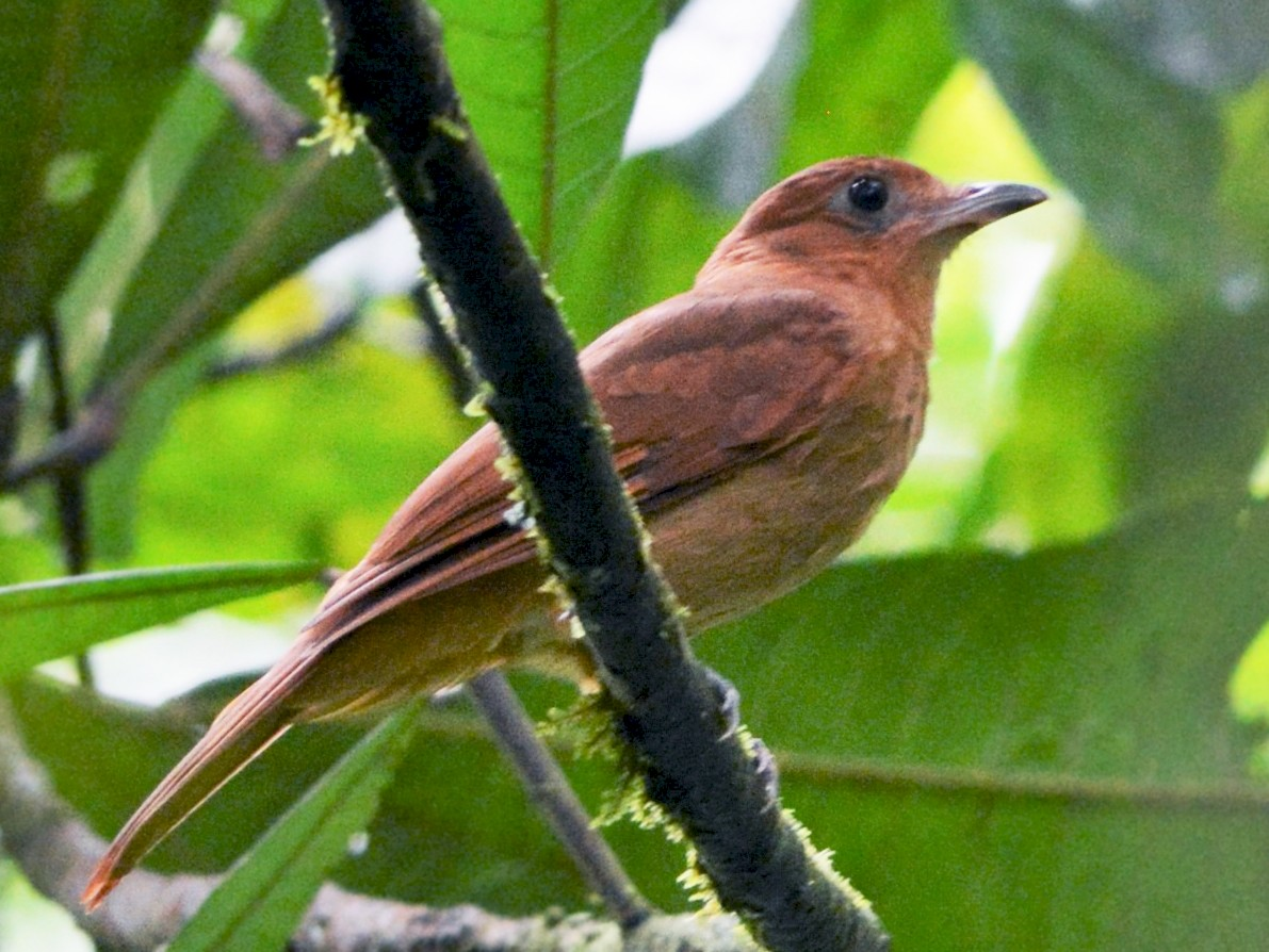 Rufous Piha - David Hollie