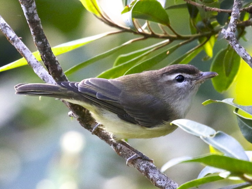 Brown-capped Vireo - Knut Hansen
