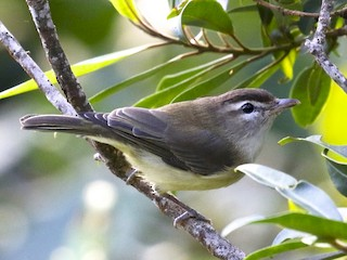 - Brown-capped Vireo