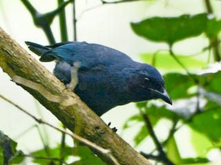 - Black-throated Jay