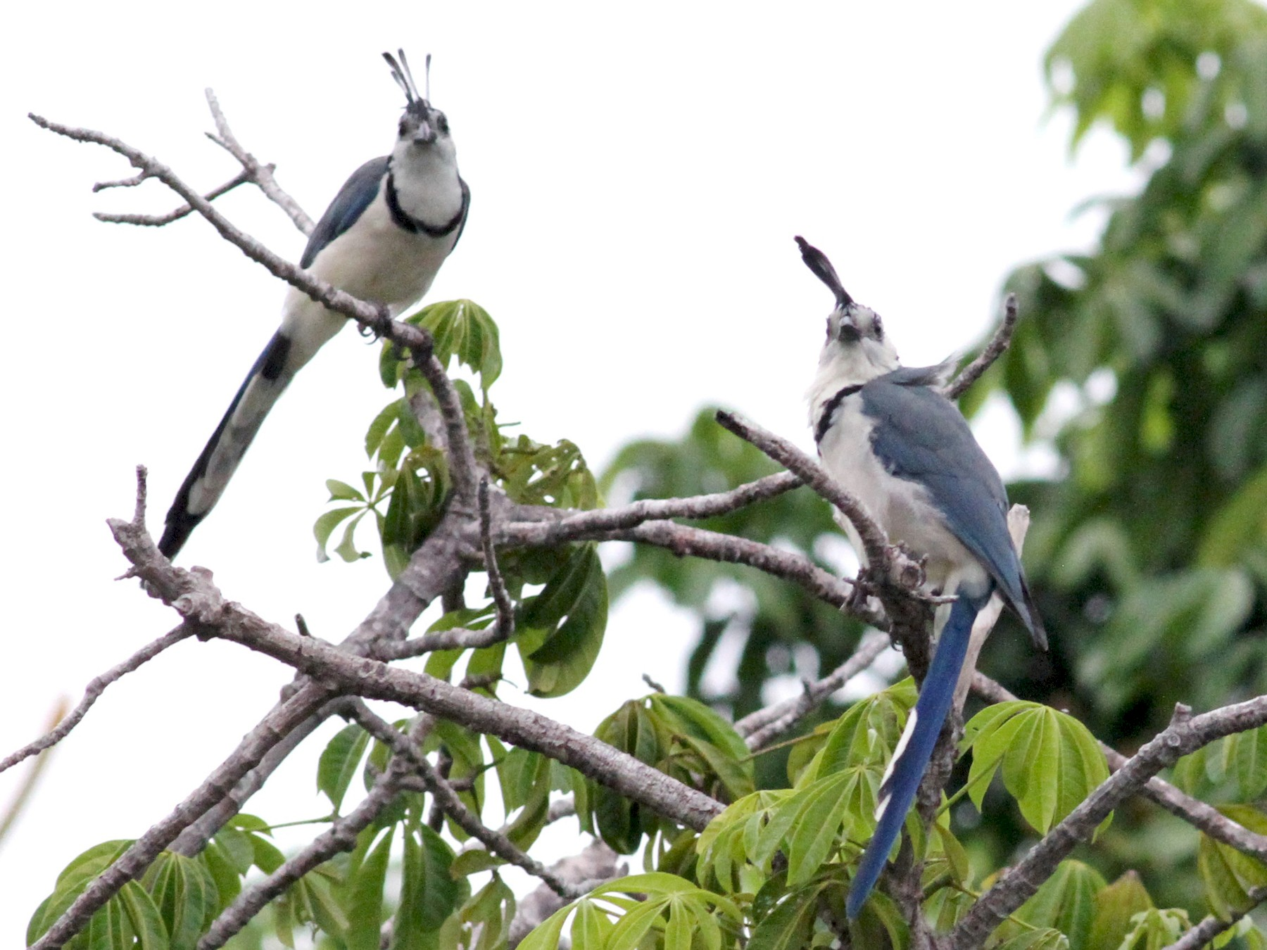White-throated Magpie-Jay - Georges Duriaux