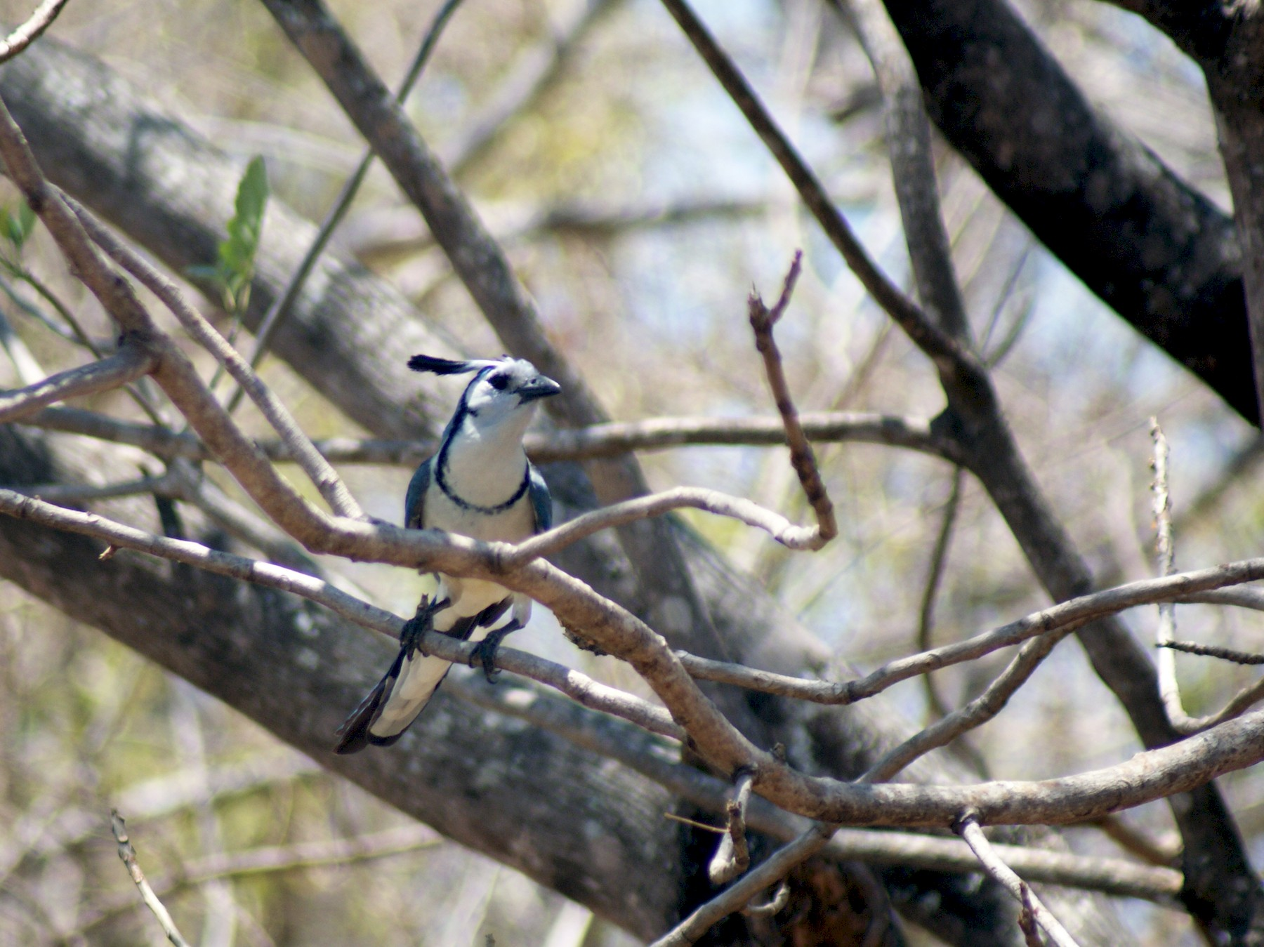 White-throated Magpie-Jay - Taylor Abbott