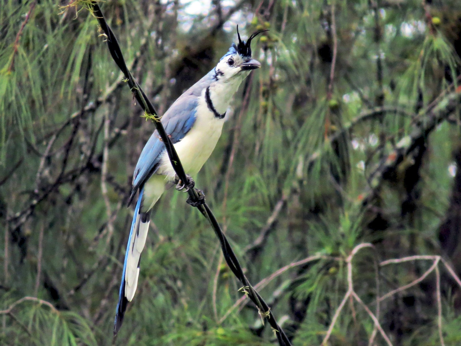 White-throated Magpie-Jay - Oliver  Komar