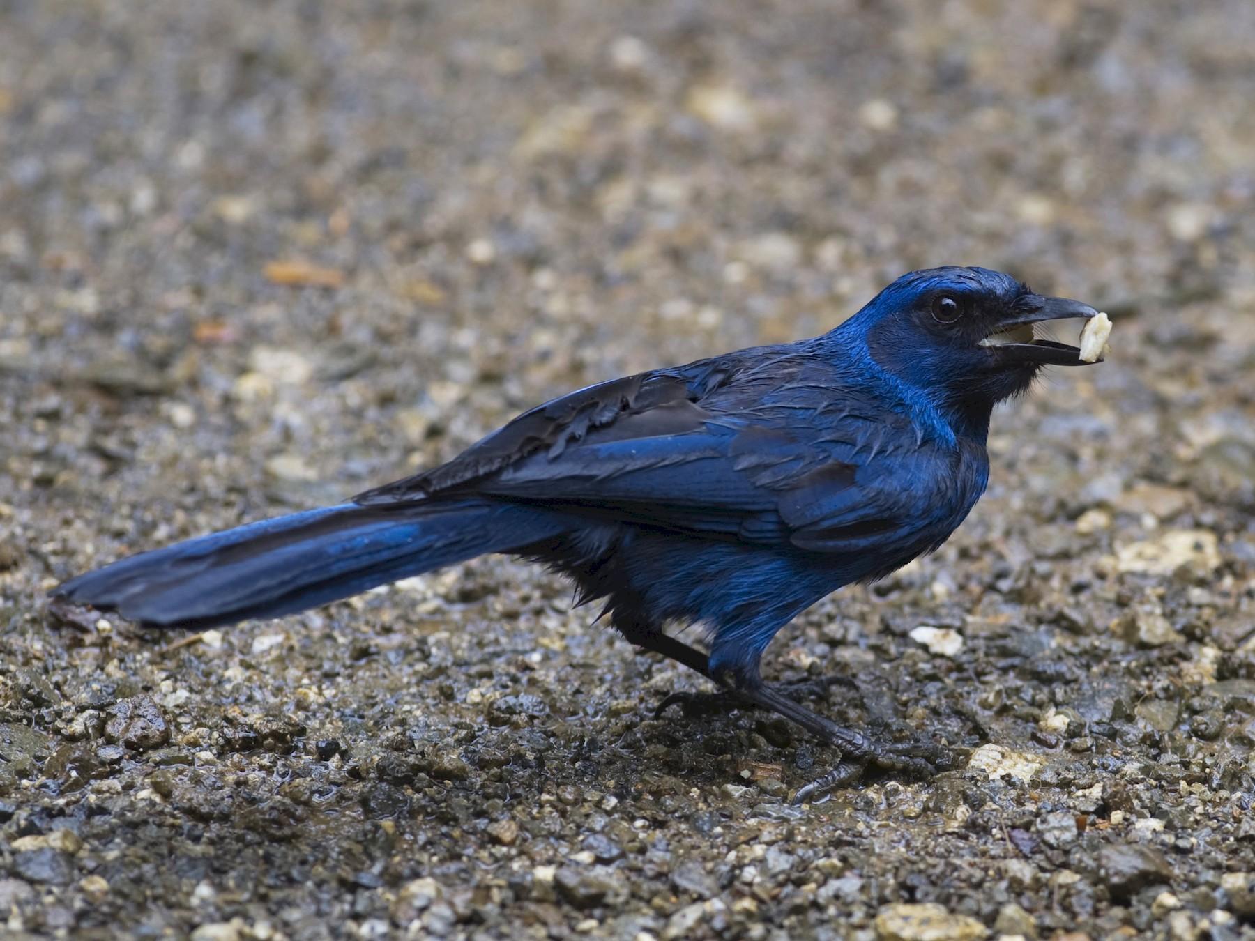 Unicolored Jay - John Cahill xikanel.com