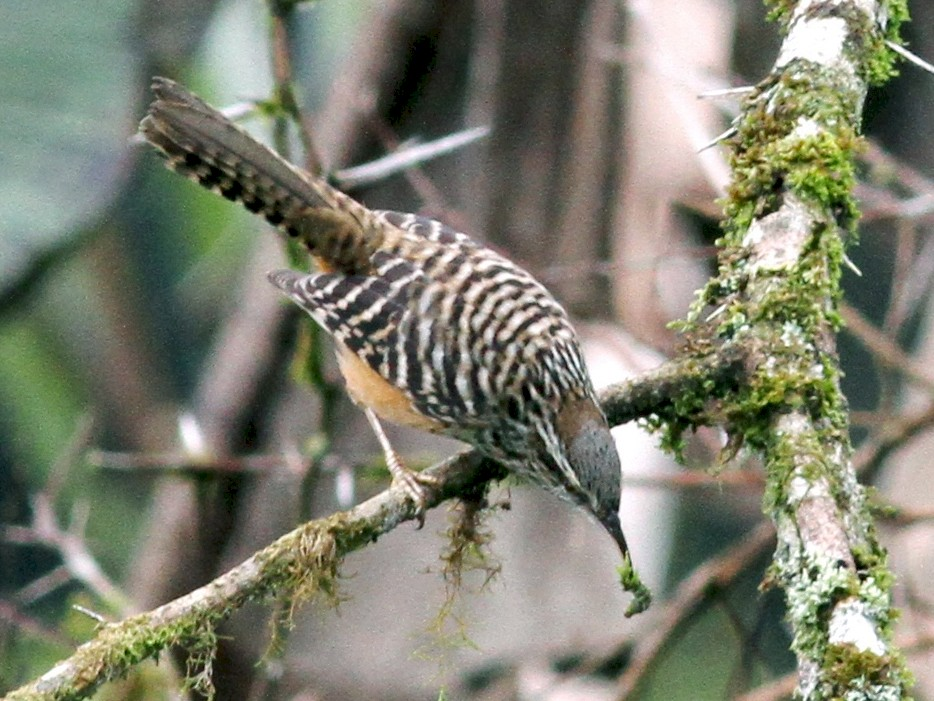 Band-backed Wren - Georges Duriaux