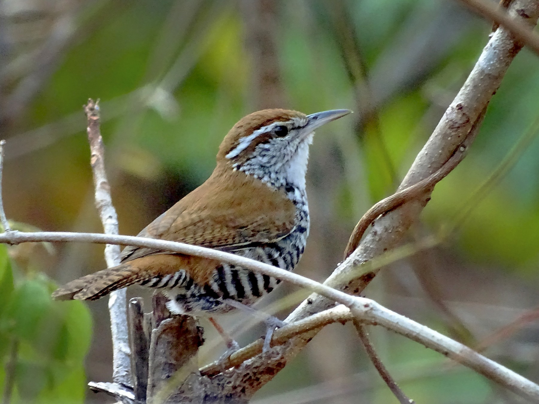 Banded Wren - Alfonso Auerbach