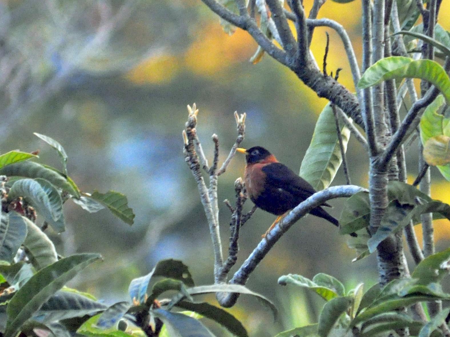 Rufous-collared Robin - Roberto Amaya
