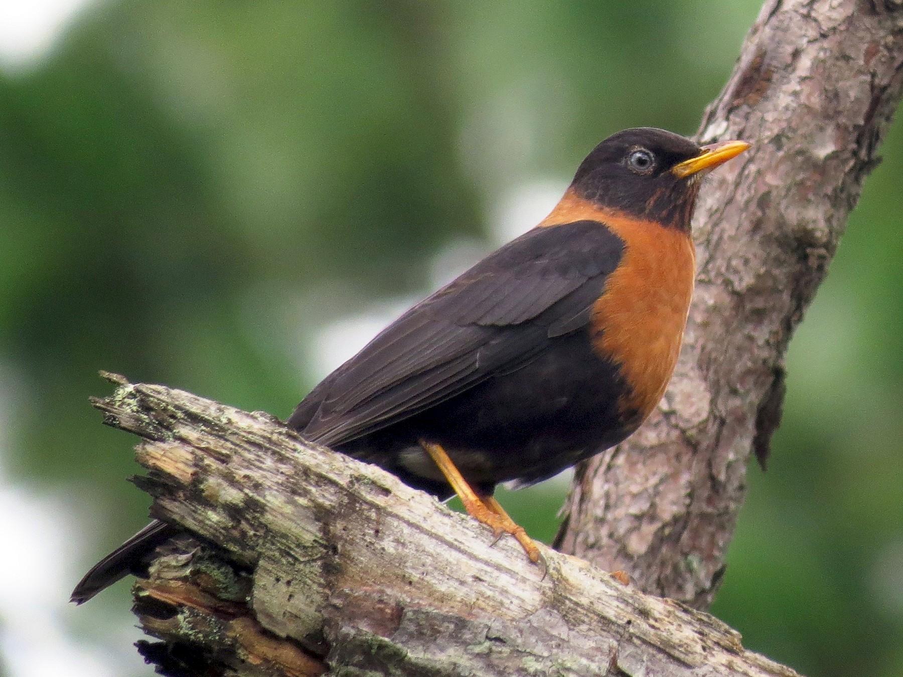 Rufous-collared Robin - John van Dort