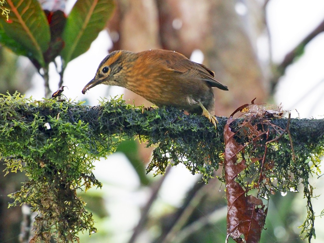 Scaly-throated Foliage-gleaner - Bitty Roy