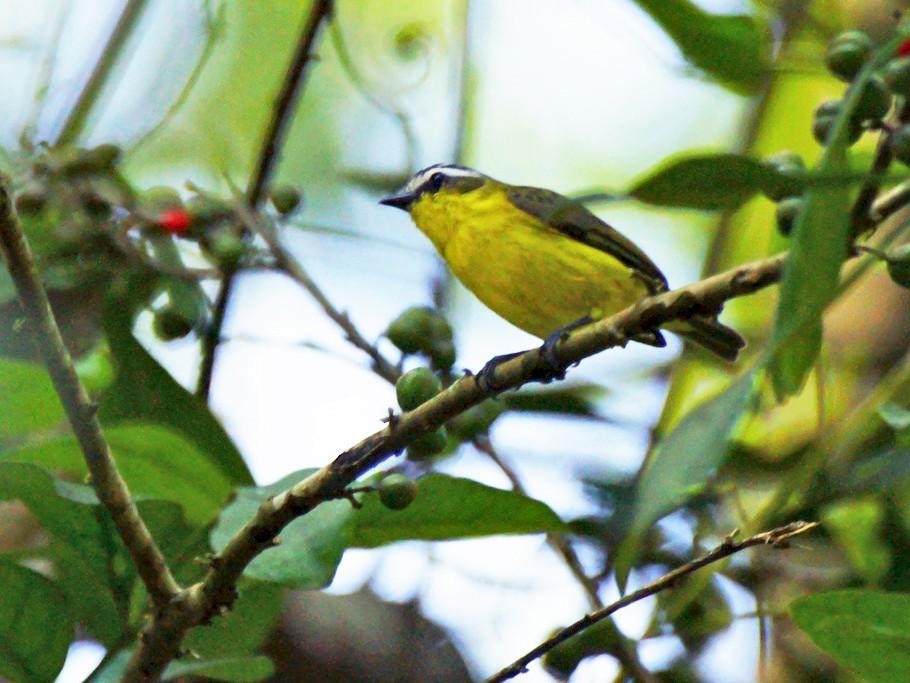 Yellow-bellied Tyrannulet - David Irving
