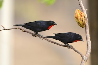 - Scarlet-throated Tanager