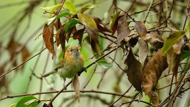 Rufous-naped Greenlet