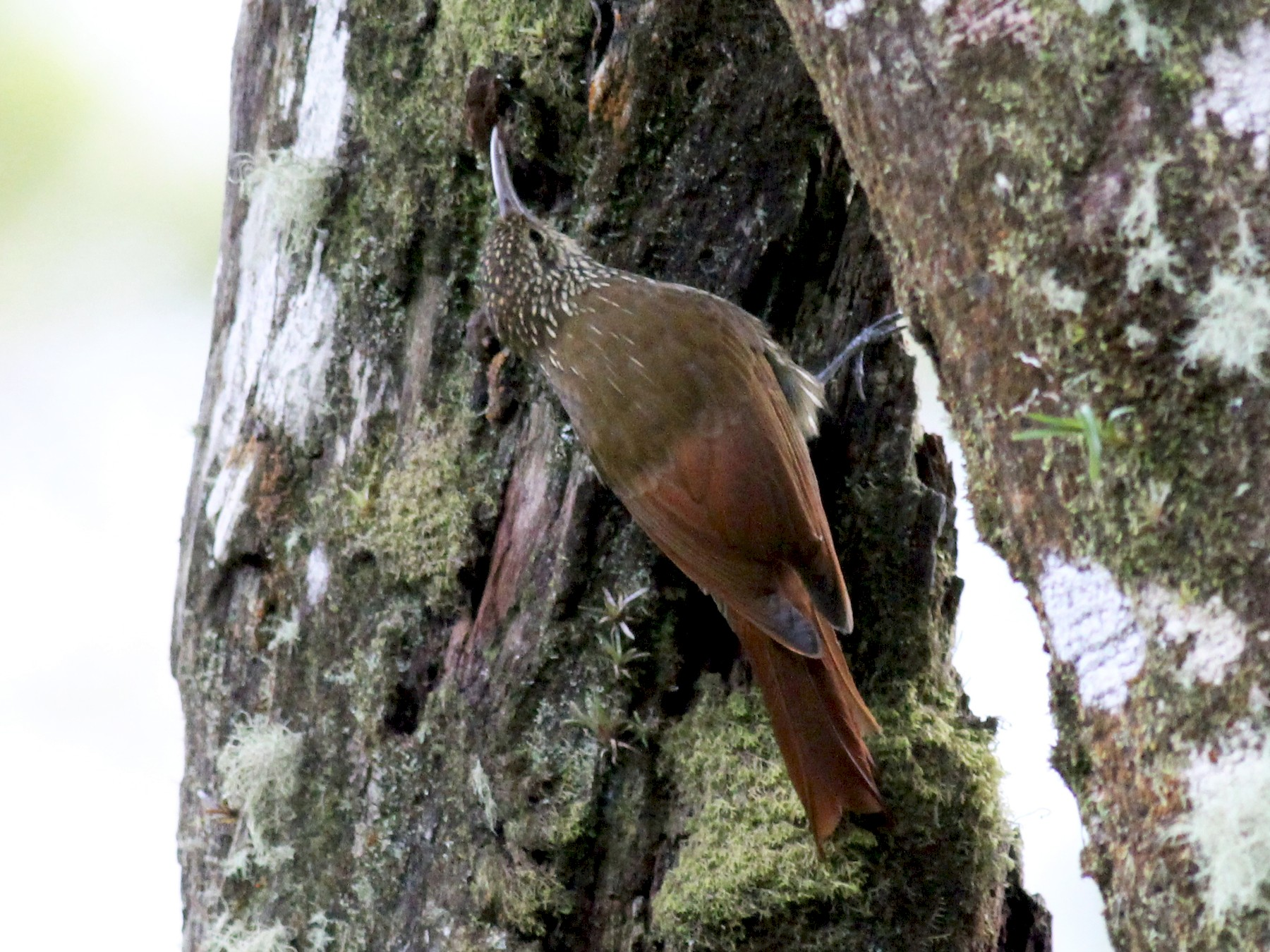 Spot-crowned Woodcreeper - Jamie Adams