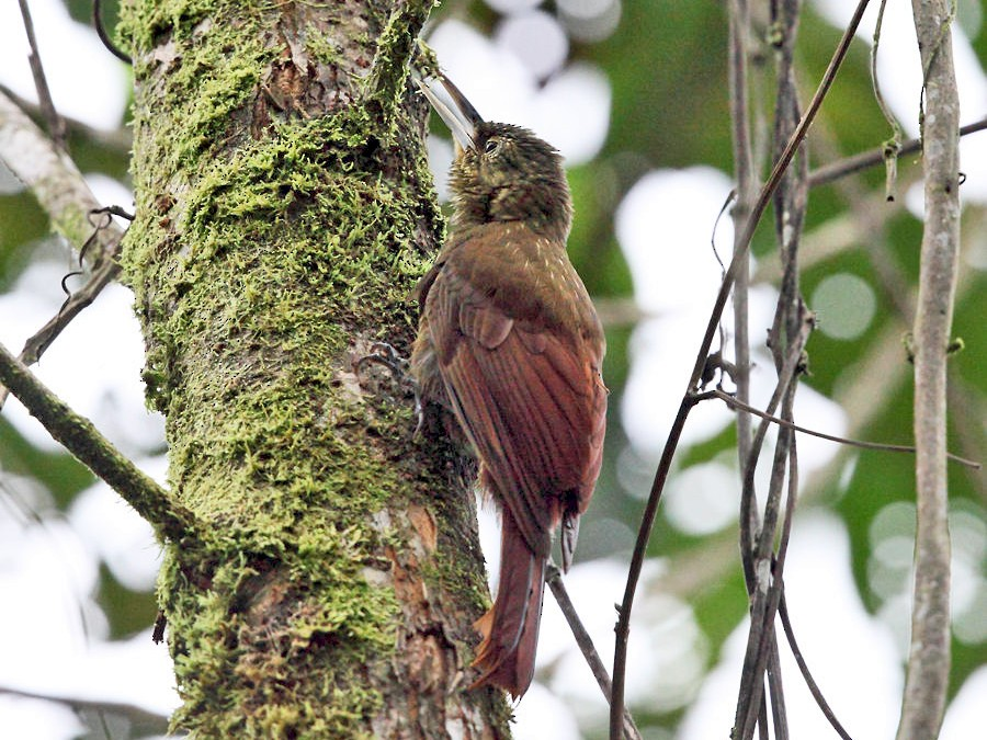 Spotted Woodcreeper - Tom Murray