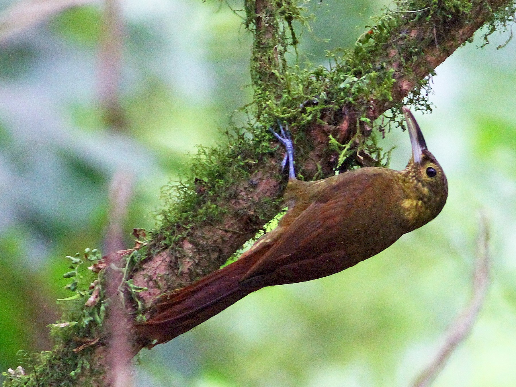 Spotted Woodcreeper - Ron Furnish