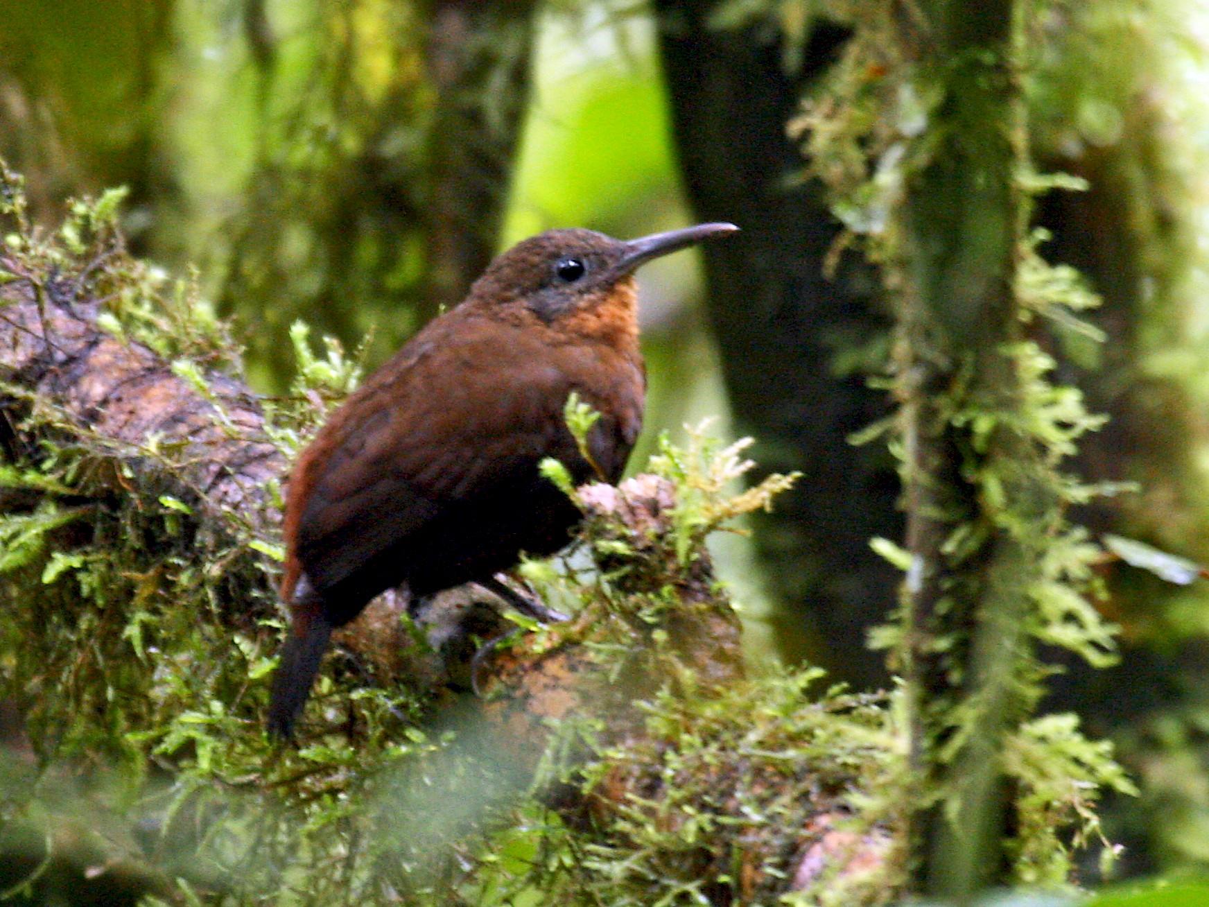 Tawny-throated Leaftosser - Michael Woodruff