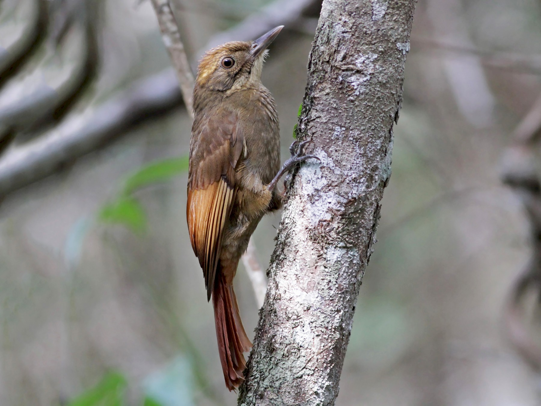 Tawny-winged Woodcreeper - eBird