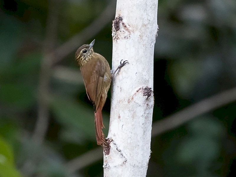 Wedge-billed Woodcreeper - Silvia Faustino Linhares