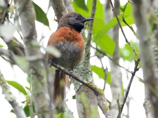 - Rufous-breasted Spinetail