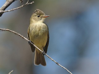 - White-throated Flycatcher