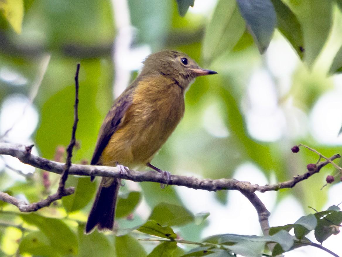 Ochre-bellied Flycatcher - Jerome Foster