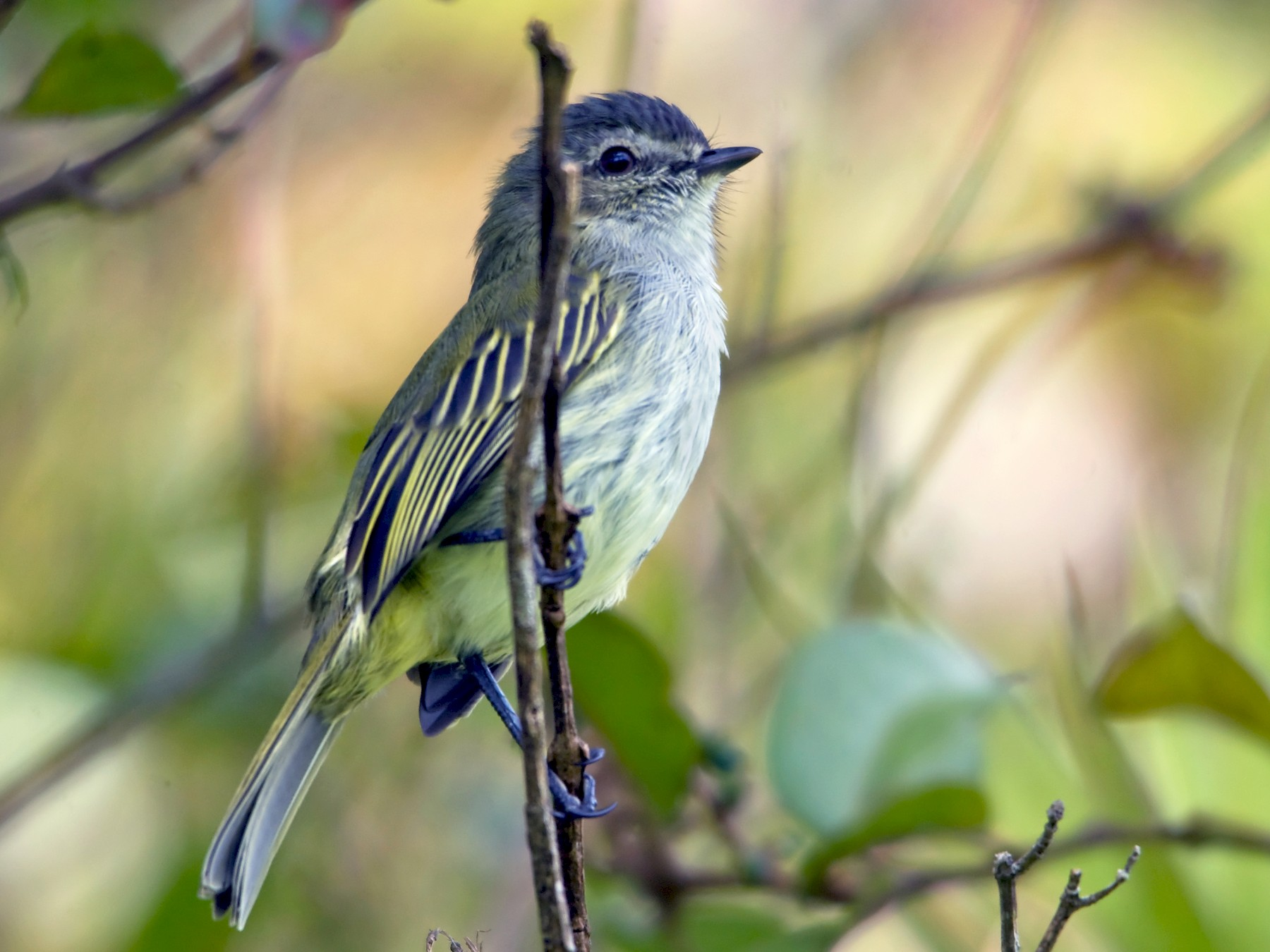 Mistletoe Tyrannulet - William Pixler
