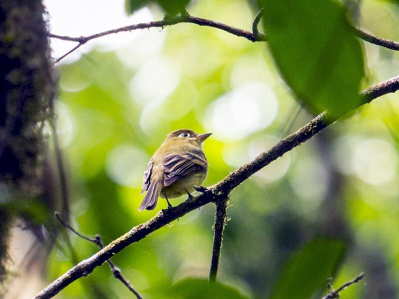 Yellowish Flycatcher - Louise Auclair
