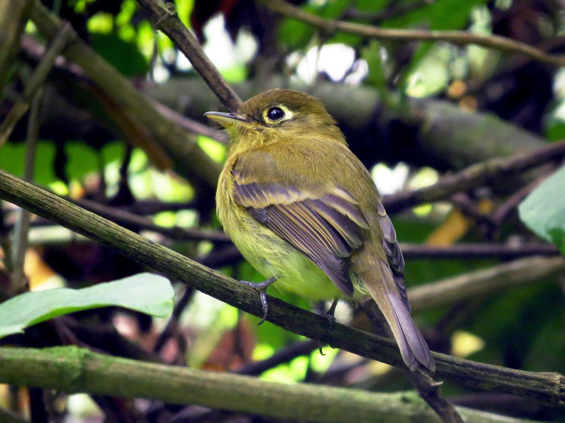 Yellowish Flycatcher - John van Dort